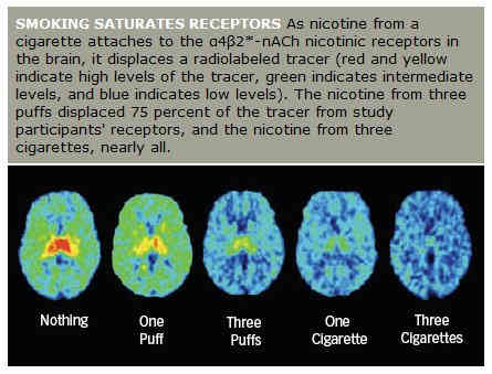 The effects of one, two and three puffs of nicotine on brain acetylcholine dopamine pathway receptors