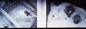 rat developing skin cancer