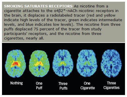 Bran scan showing the number of puffs of nicotine needed to activate and saturate brain dopamine pathway receptors